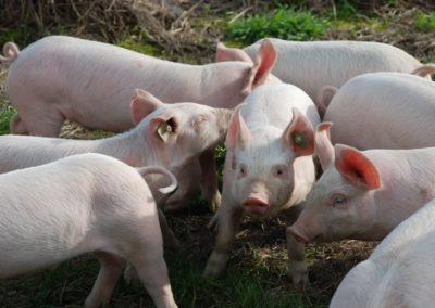Netto indfører grisekød fra opdræt uden antibiotika